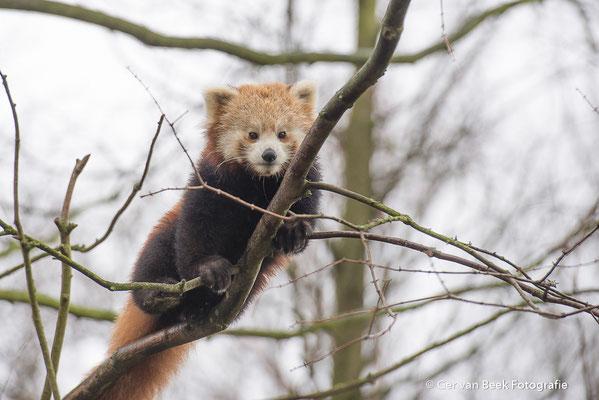 Kleine panda