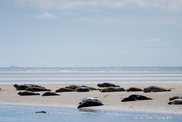 Gewone en grijze zeehonden