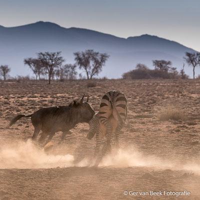 Vechtende Baluwe gnoe en Steppe zebra