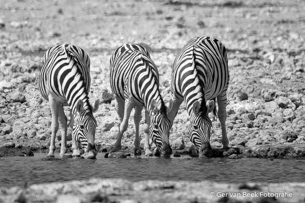 Steppe zebra's
