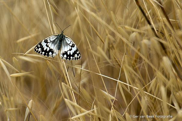 Dambord vlinder
