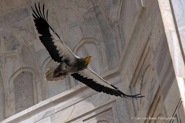 Egyptische gier