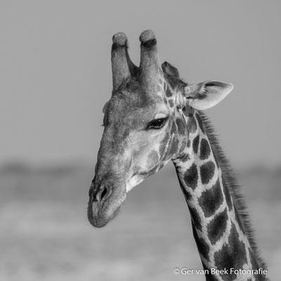 Zuidelijke giraffe