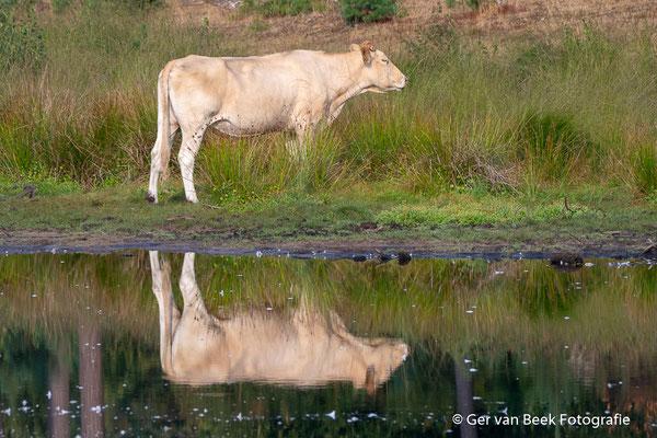 Charolais koe