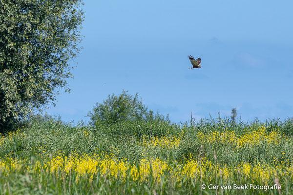 Bruine kiekendief boven het geel....