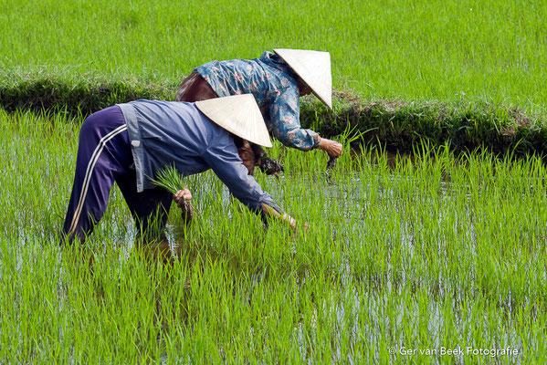 Werken op de reisvelden, Vietnam 2015