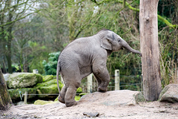 Jonge Indische olifant