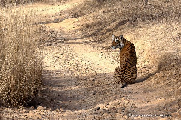 Bengaalse tijger, India 2012