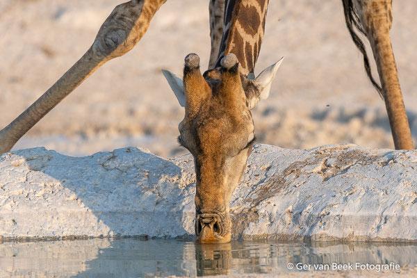 Drinkende Zuidelijke giraffe