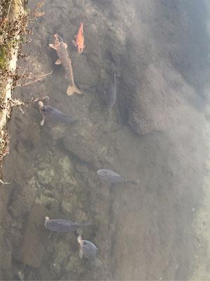 川の中のコイが上流に向かおうとしています。