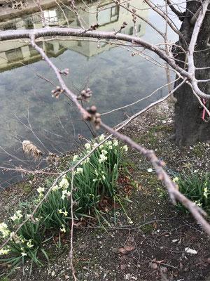 水辺に水仙が咲き、川面に向かいの建物がくっきりと映し出されています。