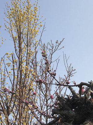 桜の開花は4月23日予定!楽しみです。満開は10日後になります