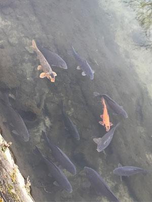 川辺にコイの群れが寄ってきました。中には錦鯉の赤いのも見られます。水は澄んでいます。