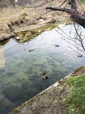 カモが飛んできてゆったりと水に浮かんでいます。なぜかしら一羽二羽数を数えています。