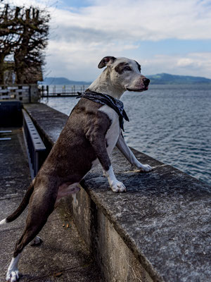 03.04.2021 - Hundeshooting mit Shania und Tyson (Tyson => American Stefford)