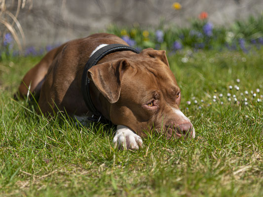 03.04.2021 - Hundeshooting mit Shania und Tyson (Shania => American Bully XXL)