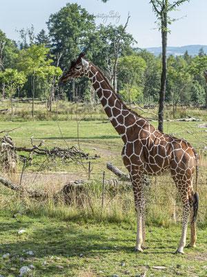 12.07.2020 - Schweiz - Zoo Zürich
