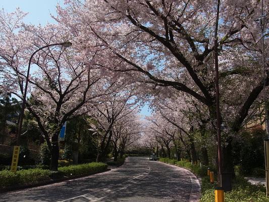 町田市野津田公園北入口の桜並木