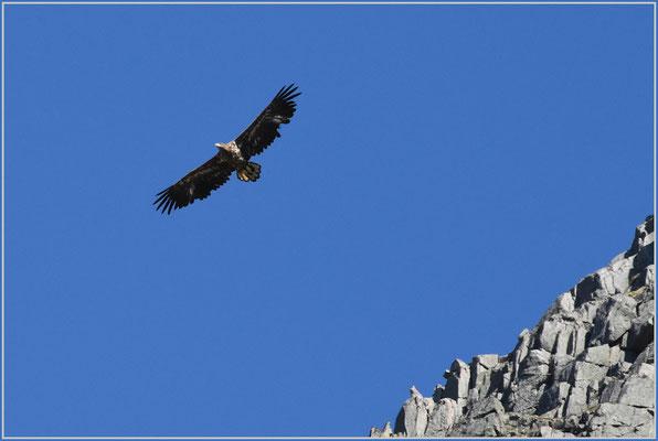 Adler im Gebirge