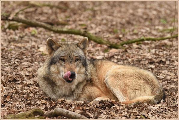 Europäischer Grauwolf (Wolfscenter Dörverden)
