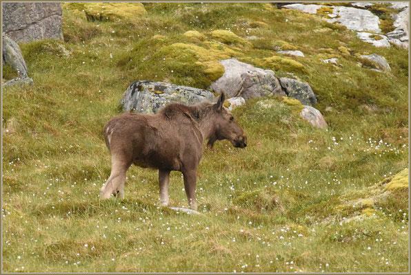 Lofoten-Elch