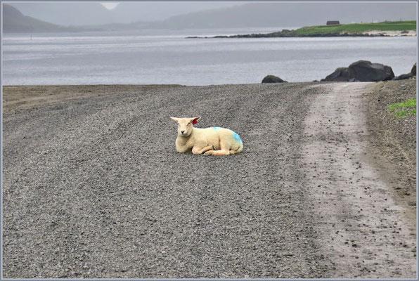 Schaf auf Fahrbahn lässt sich nicht bewegen
