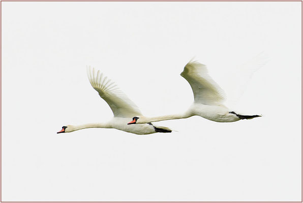 Schwan im Doppelflug