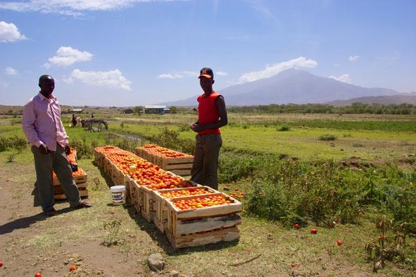 Tomatenfelder in der Wüste. Auch die Massai müssen Geld verdienen