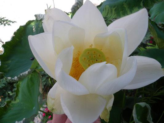 境内に咲く白蓮華