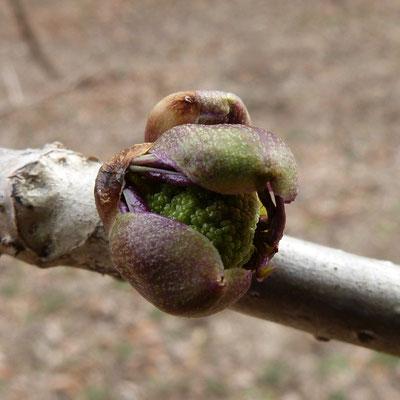 ニワトコの芽