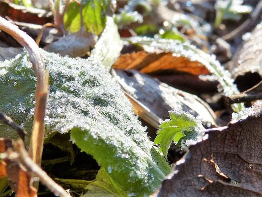 霜が朝日に輝く