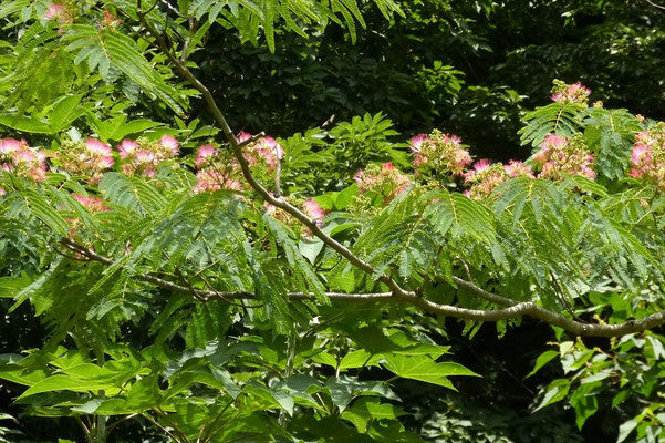 樹上に咲くネムの花