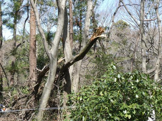 折れて落ちた大木