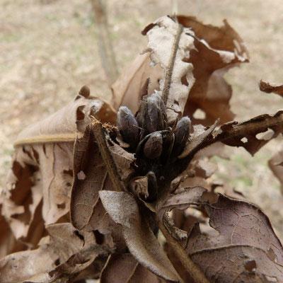カシワの芽