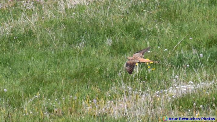 Coucou gris (femelle en forme rousse)