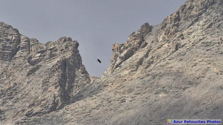 Aigle royal devant le Mont Pelat