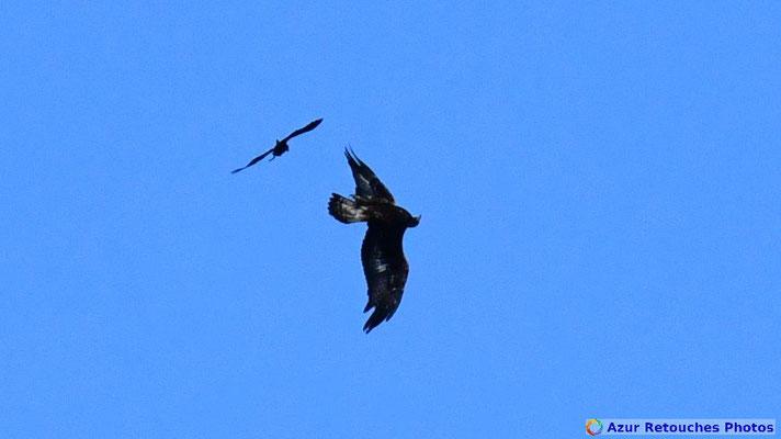 Aigle royal harcelé par un corbeau