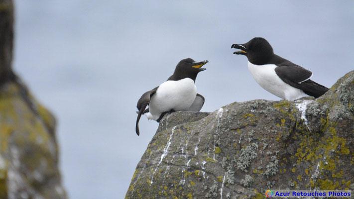 Pingouins tordas