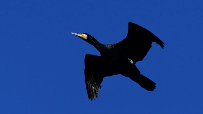 Grand cormoran
