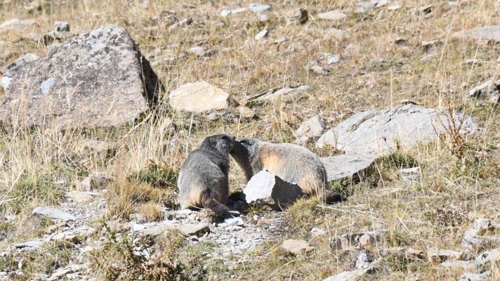 Il ne reste que quelques marmottes encore dehors