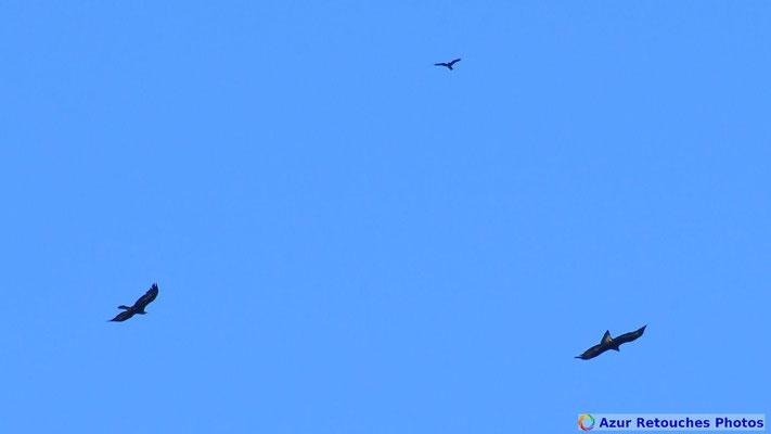 Aigles royaux et corbeau