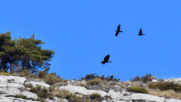Aigle harcelé par des corbeaux