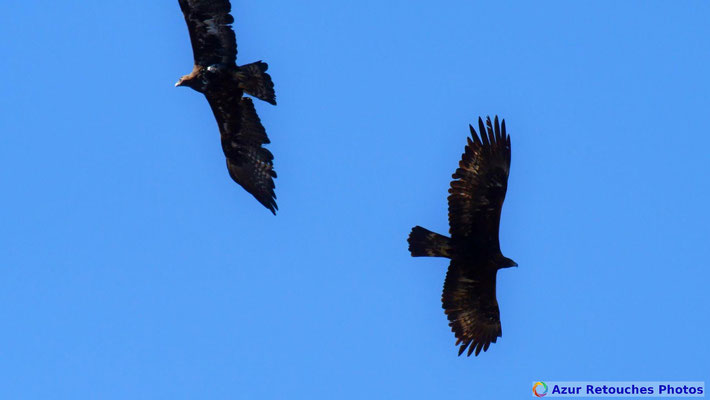 Couple d'aigles royaux