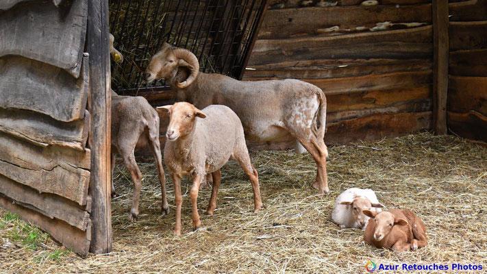 Mouton la Castillonnaise