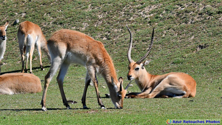 Cobes de Lechwe rouges