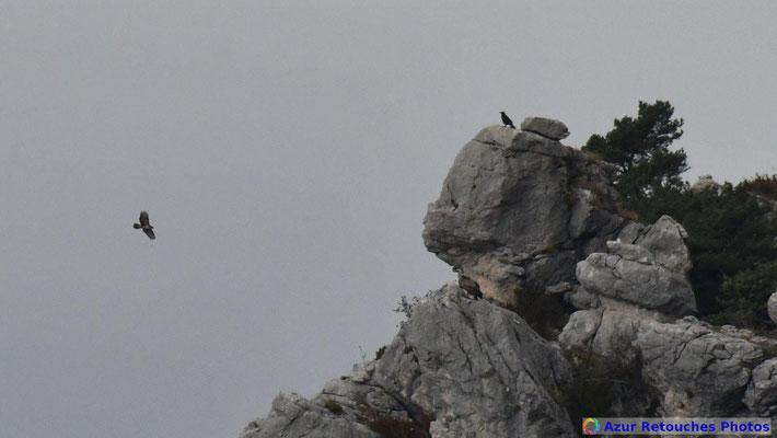 Buse, vautour et grand corbeau