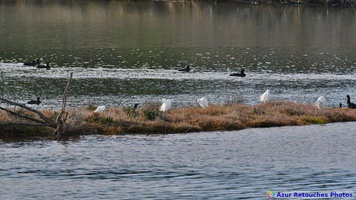 Grandes aigrettes et cormorans