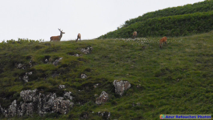 Cerfs rouges d'Ecosse