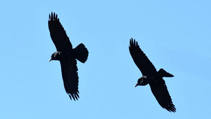 Grands corbeaux