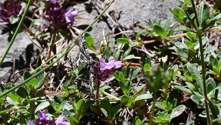 Lancette (Epirrhoe hastulata)